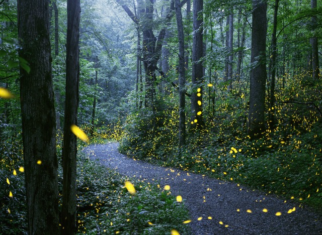 synchronous fireflies