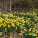 Daffodils by river